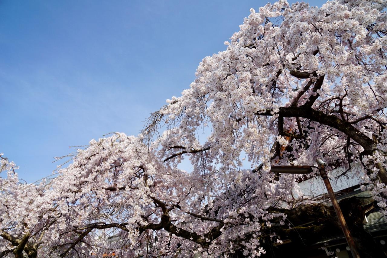 しだれ桜が豪華で見事です。