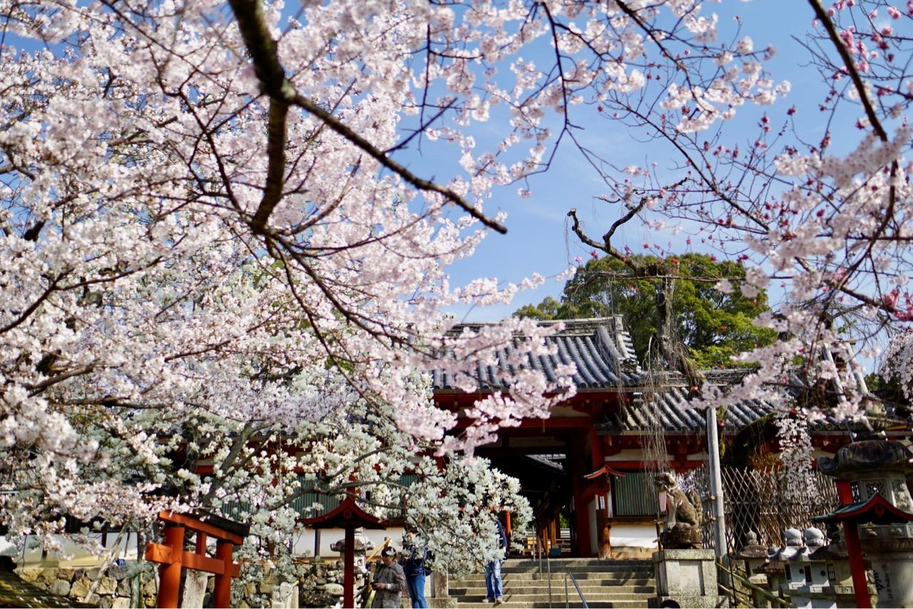 境内の他の桜も見頃を迎えていてとても綺麗でした。