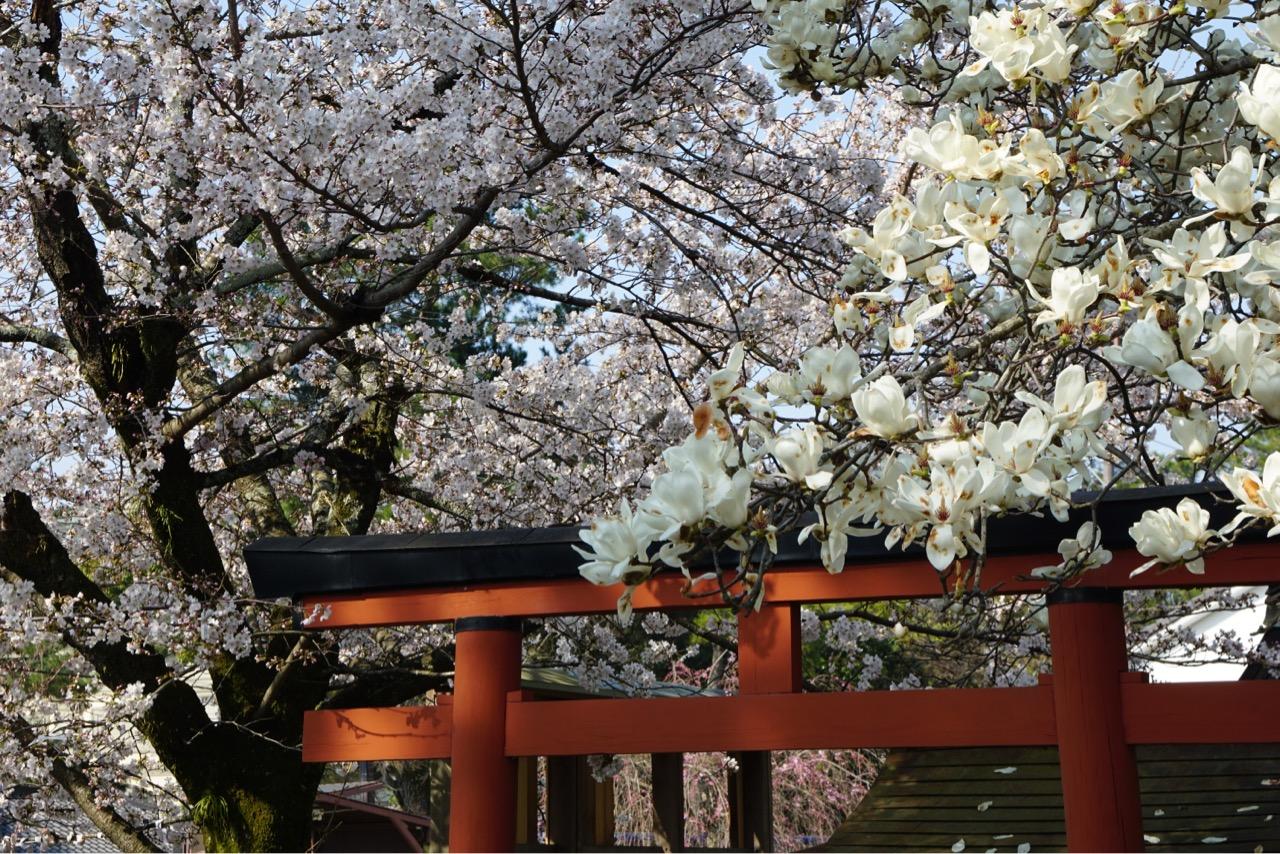 右側がハクモクレンです。木蓮と桜が同時に見れてとてもよかったです。