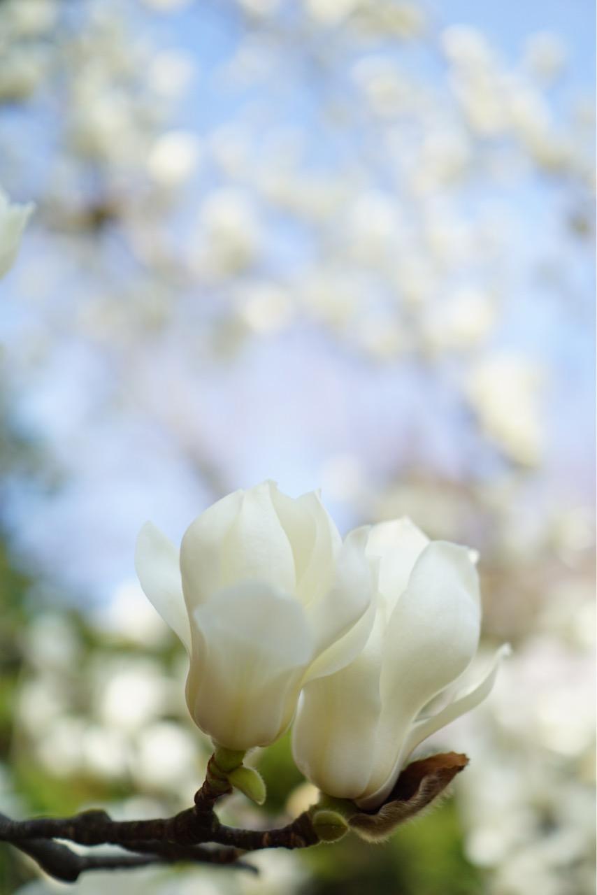 白くて大きな花が美しくて撮影できてとても嬉しかったです。