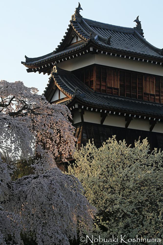 ここ東隅櫓(ひがしすみやぐら)のしだれ桜は、どこを切り取っても絵になります。