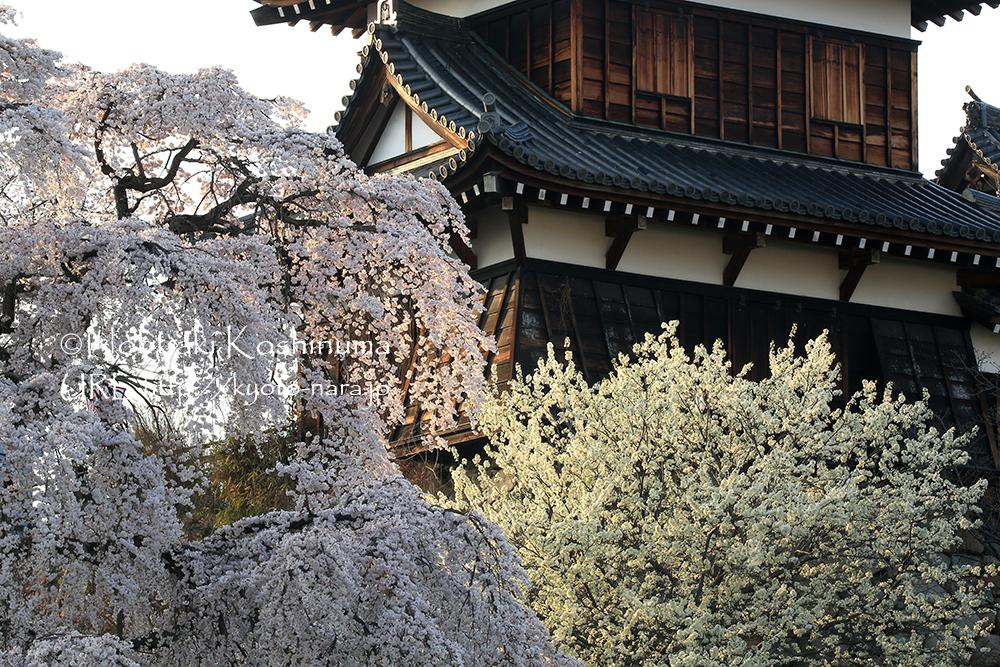 陽が沈んでいき、柔らかな光に桜が輝きます。