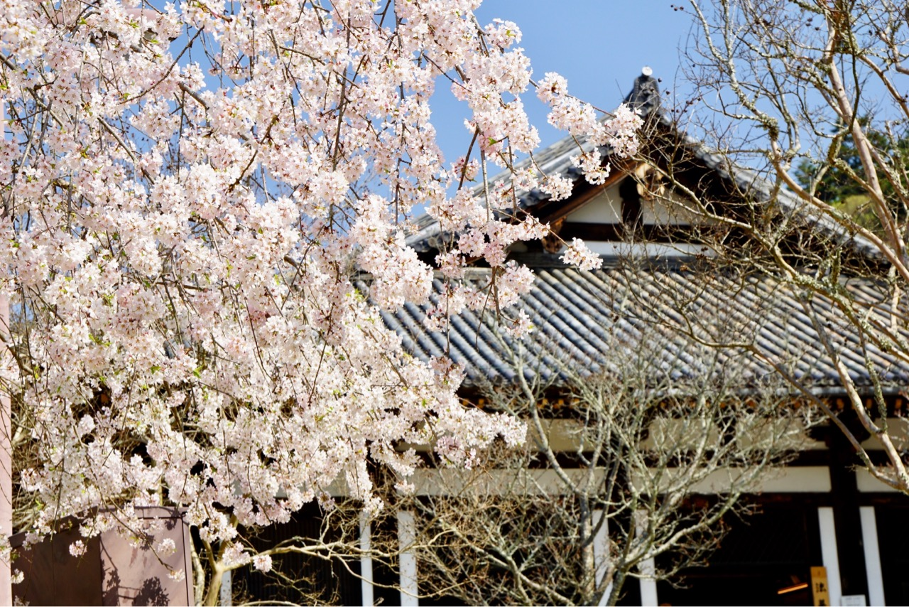 法華堂 (三月堂)とても可愛い桜が咲いていました。