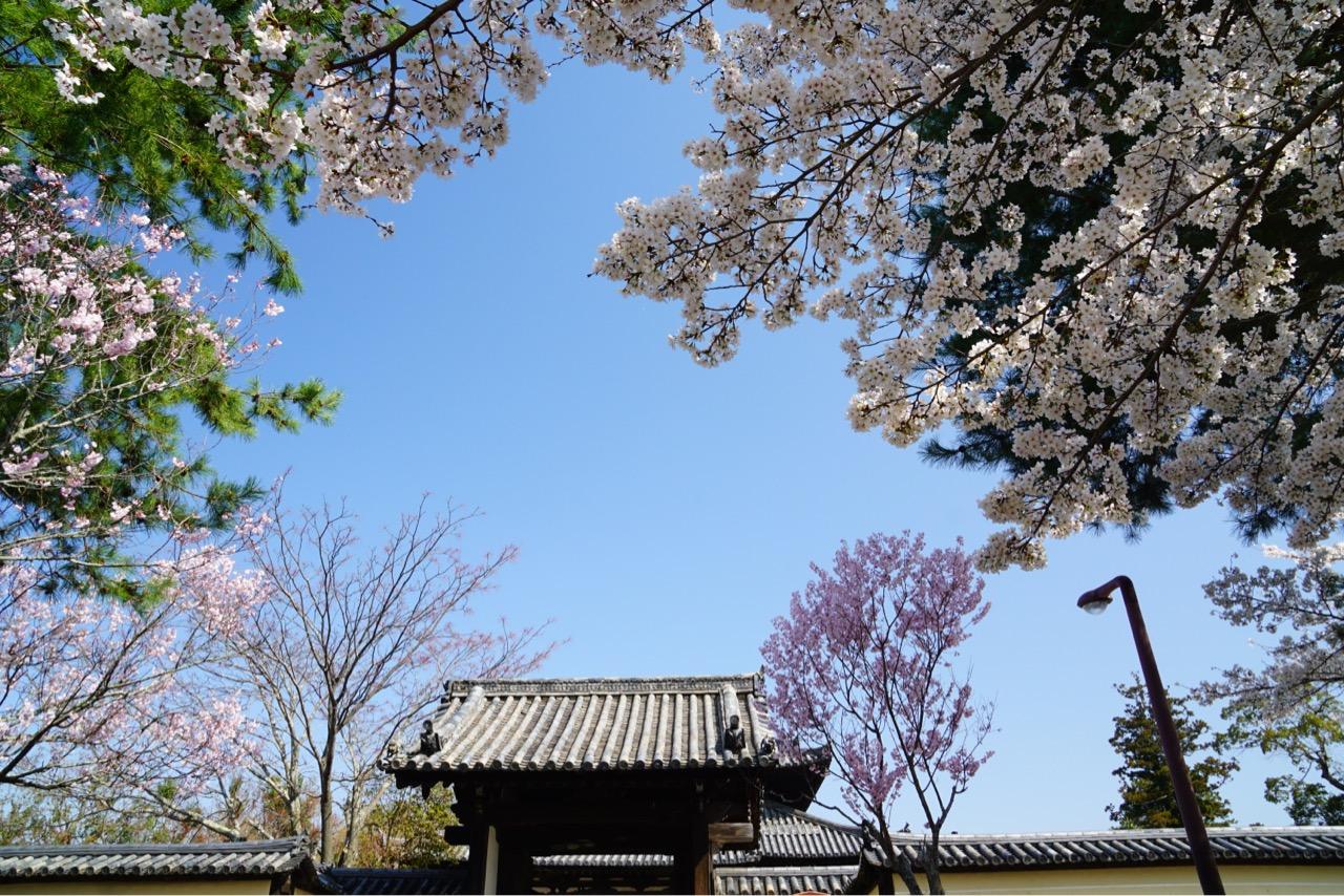 東大寺戒壇堂。修行するために建てられました。このあたりも桜がたくさん。