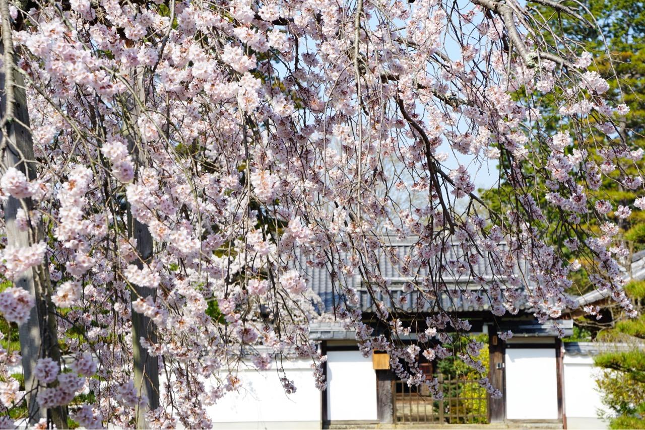 立ち入ることができない門の中にも素晴らしい桜がありました。