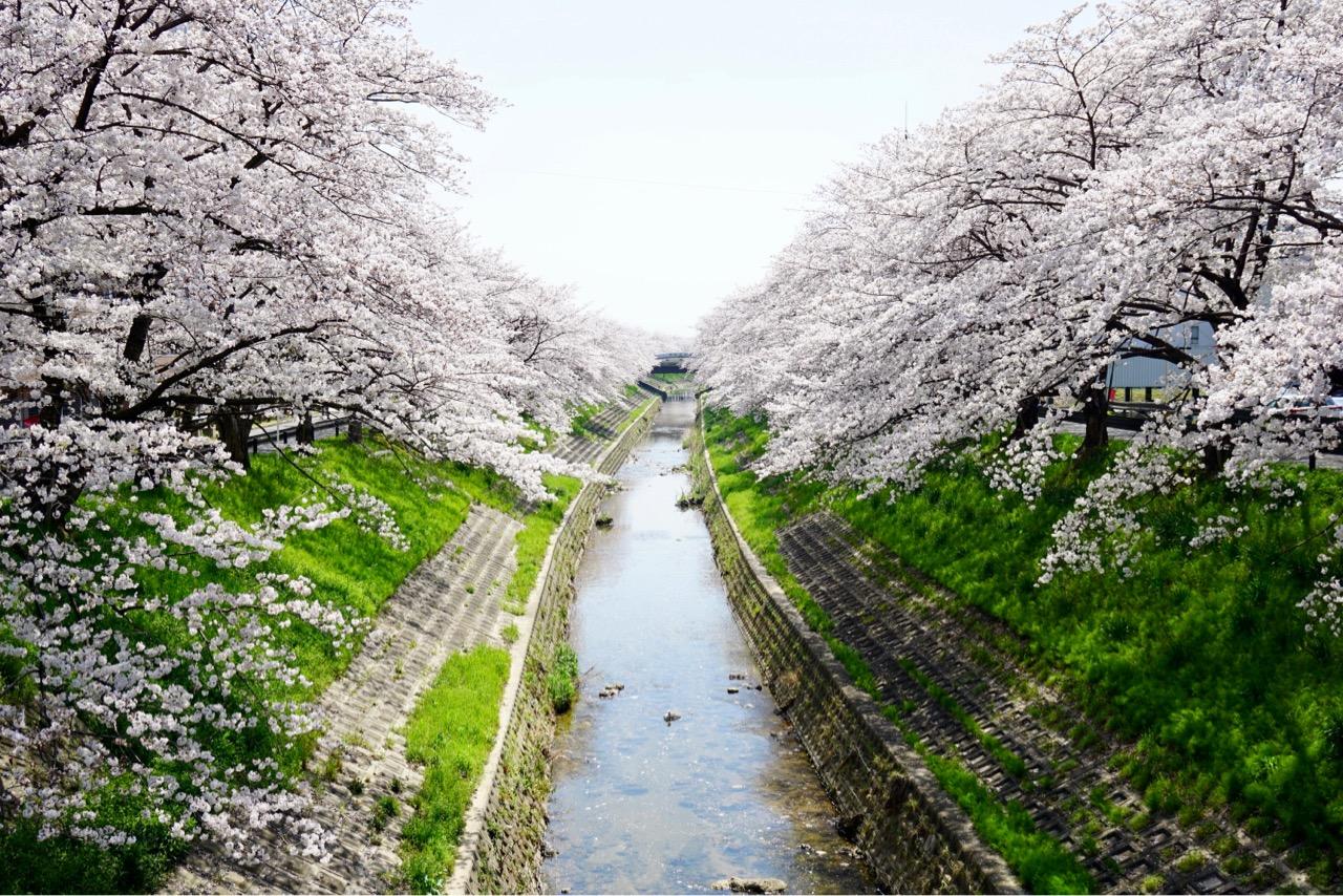 佐保川の桜並木 阪奈道路から眺めた様子です。