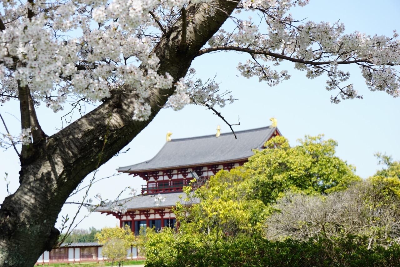 平城京の桜が満開です!