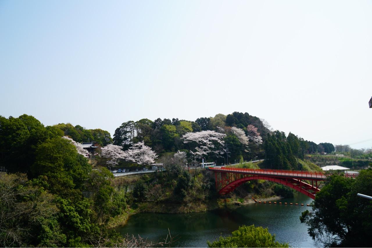 お寺を出て前の赤い橋からの桜も素晴らしいです。