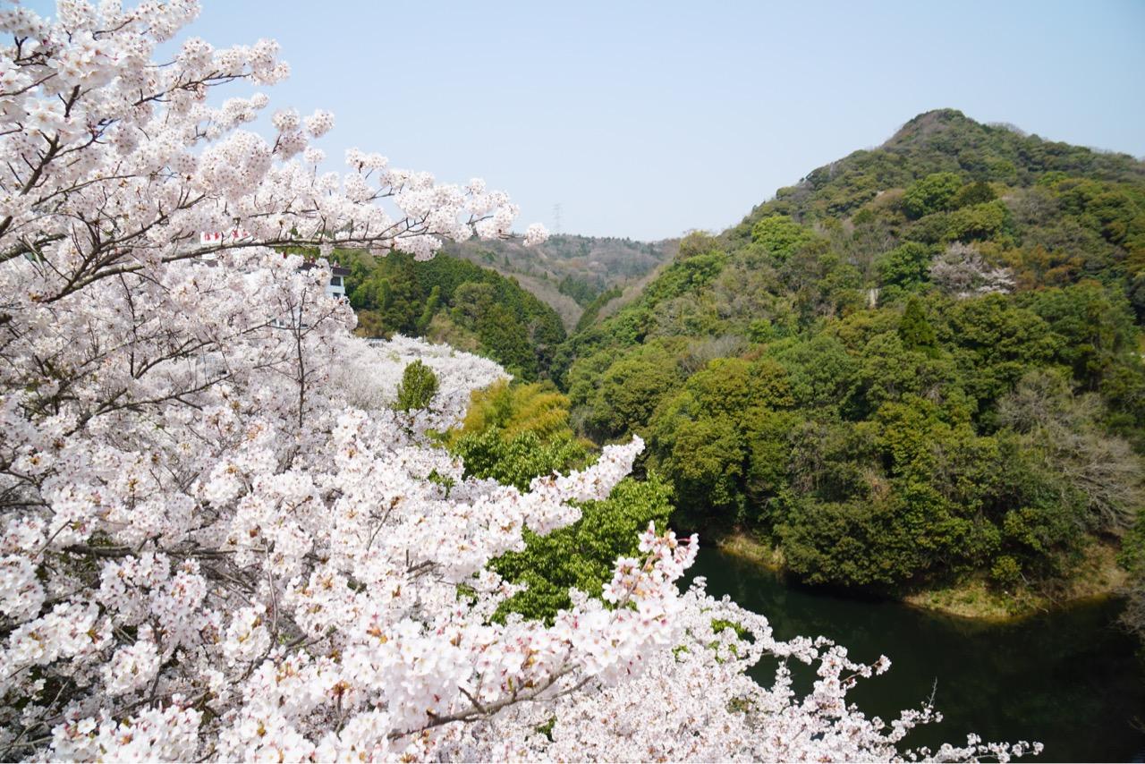 信貴山ホテルの周りも桜がいっぱいです!