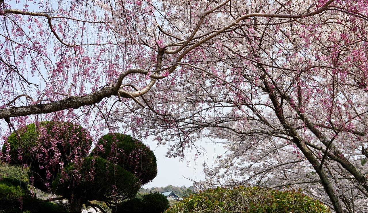 しだれ桜もあって素晴らしい眺めです。