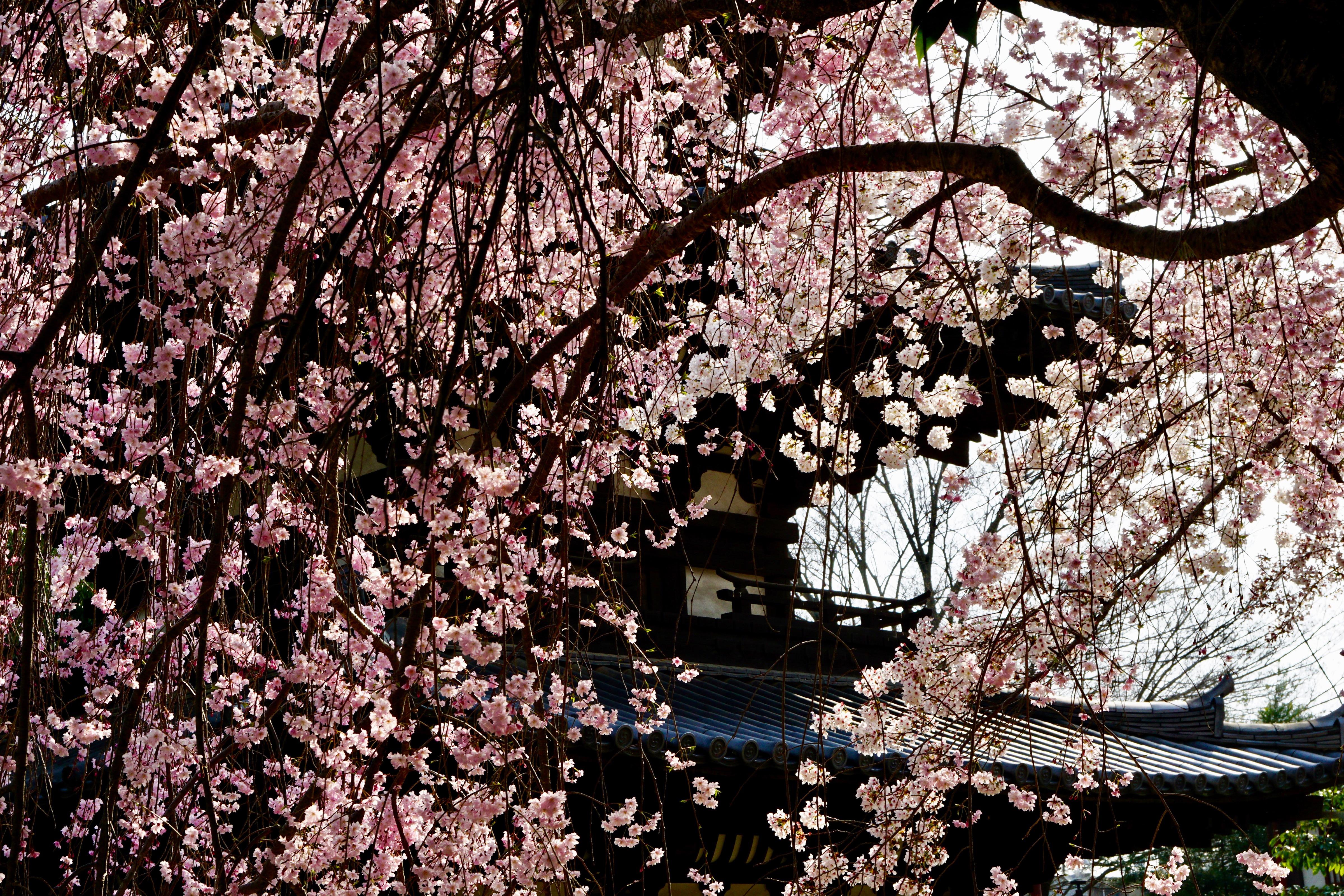 三重塔としだれ桜がとても素晴らしかったです。