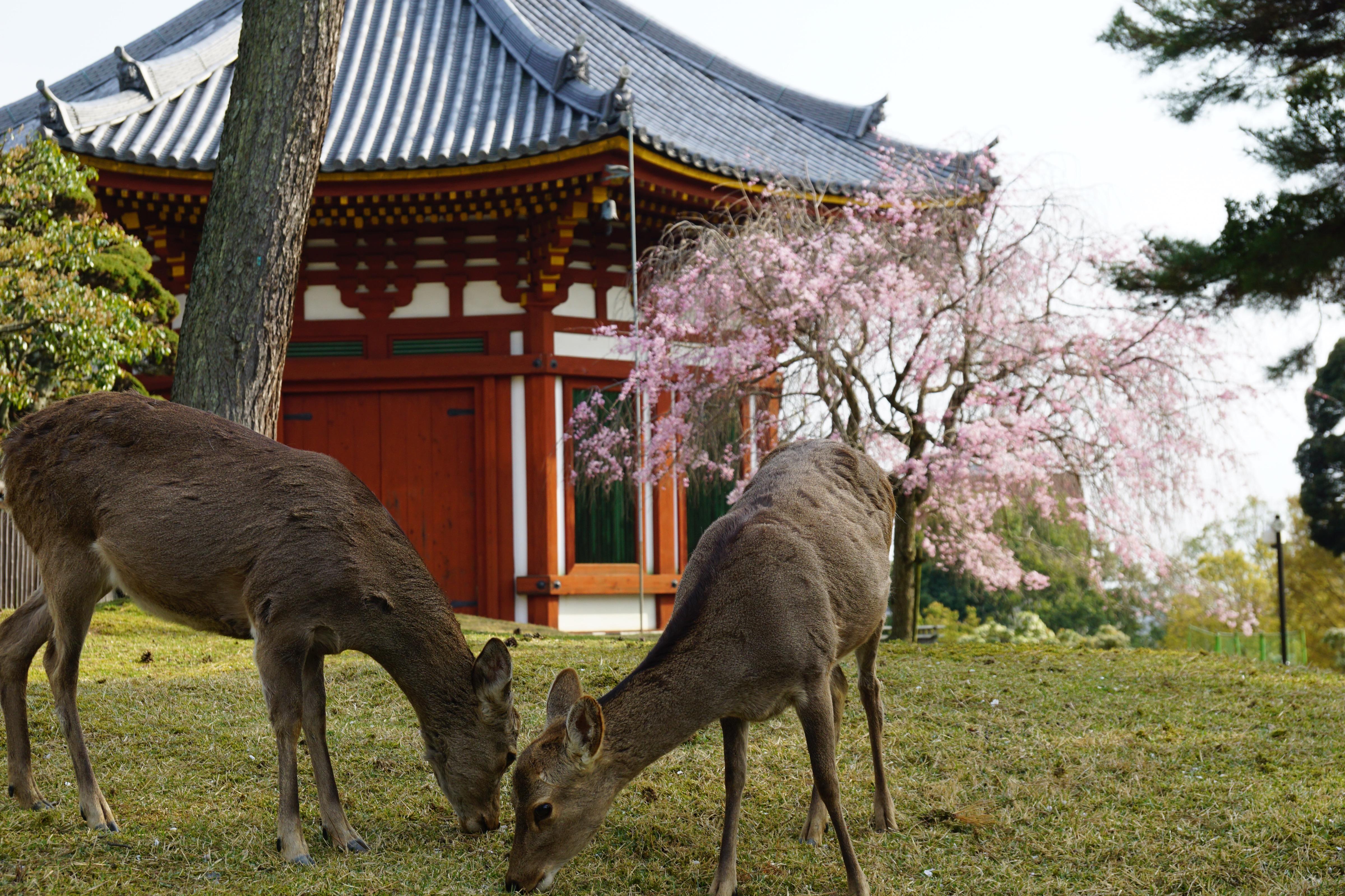 南円堂と鹿ちゃん。