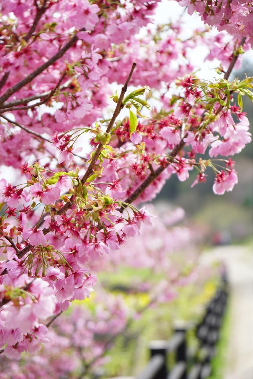 濃い色の桜可愛いですね。