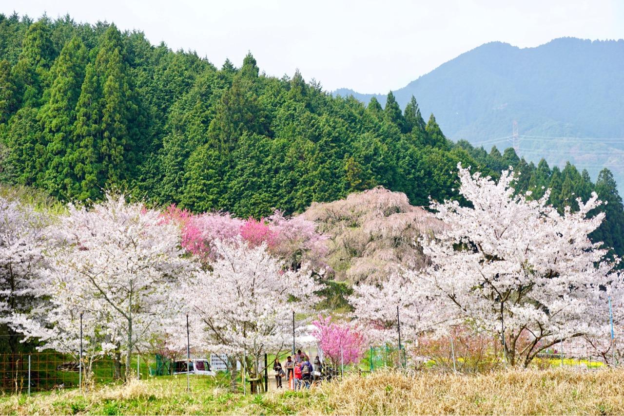 駐車場はたくさんあります。歩いて行く間にもたくさんの桜が。