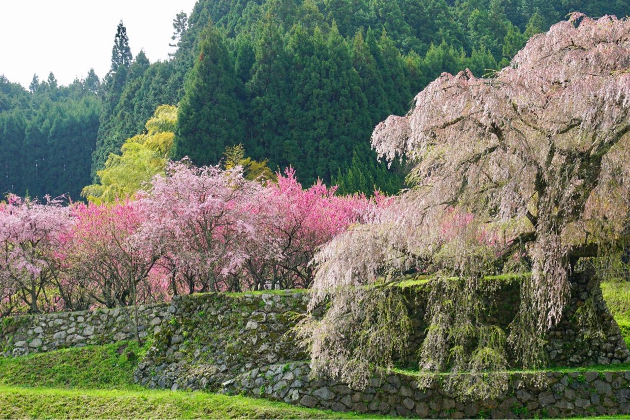 又兵衛桜は少し散っていました。強風に吹かれて大きく揺れる姿は迫力がありました。
