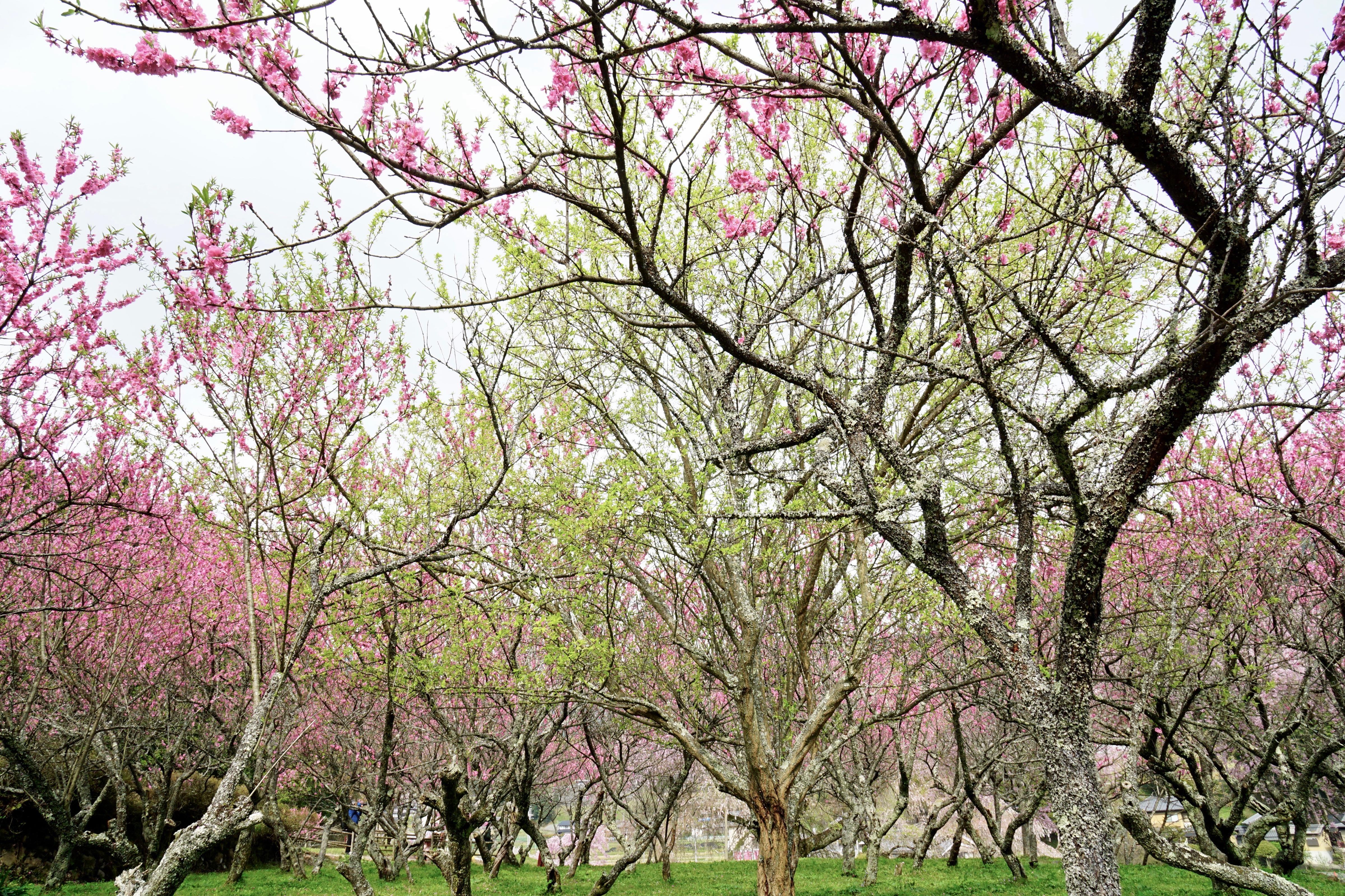 又兵衛桜の後ろにもたくさんの桜が。