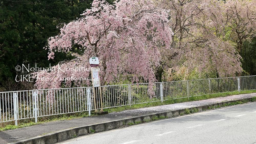 向かう途中で見つけたバス停。桜が満開で素敵でした。