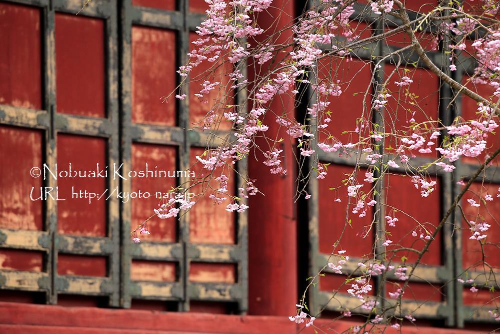 神廟拝所前の桜もきれいでした。