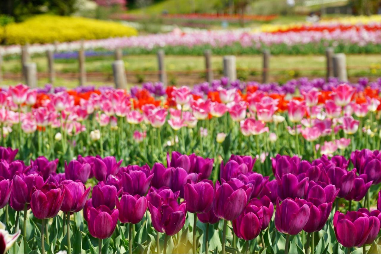 同じ色がまとまって咲いているととても綺麗で見応えあります。