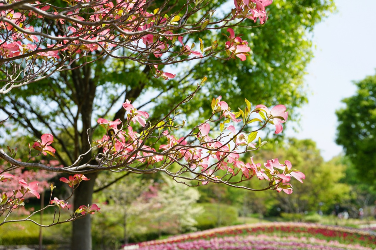 今年は花水木も同時に満開を迎えて輝いていてました。
