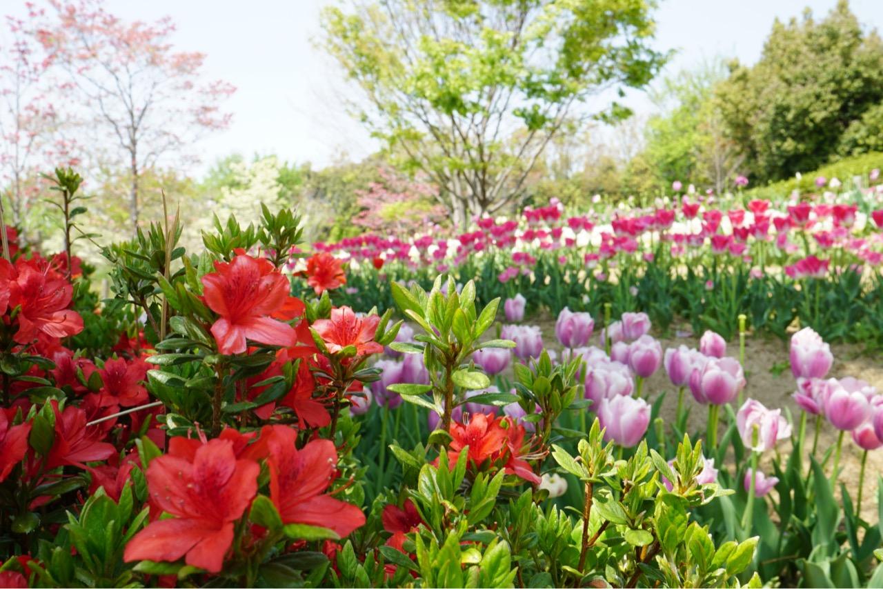 今年はツツジも同時に咲き始めています!