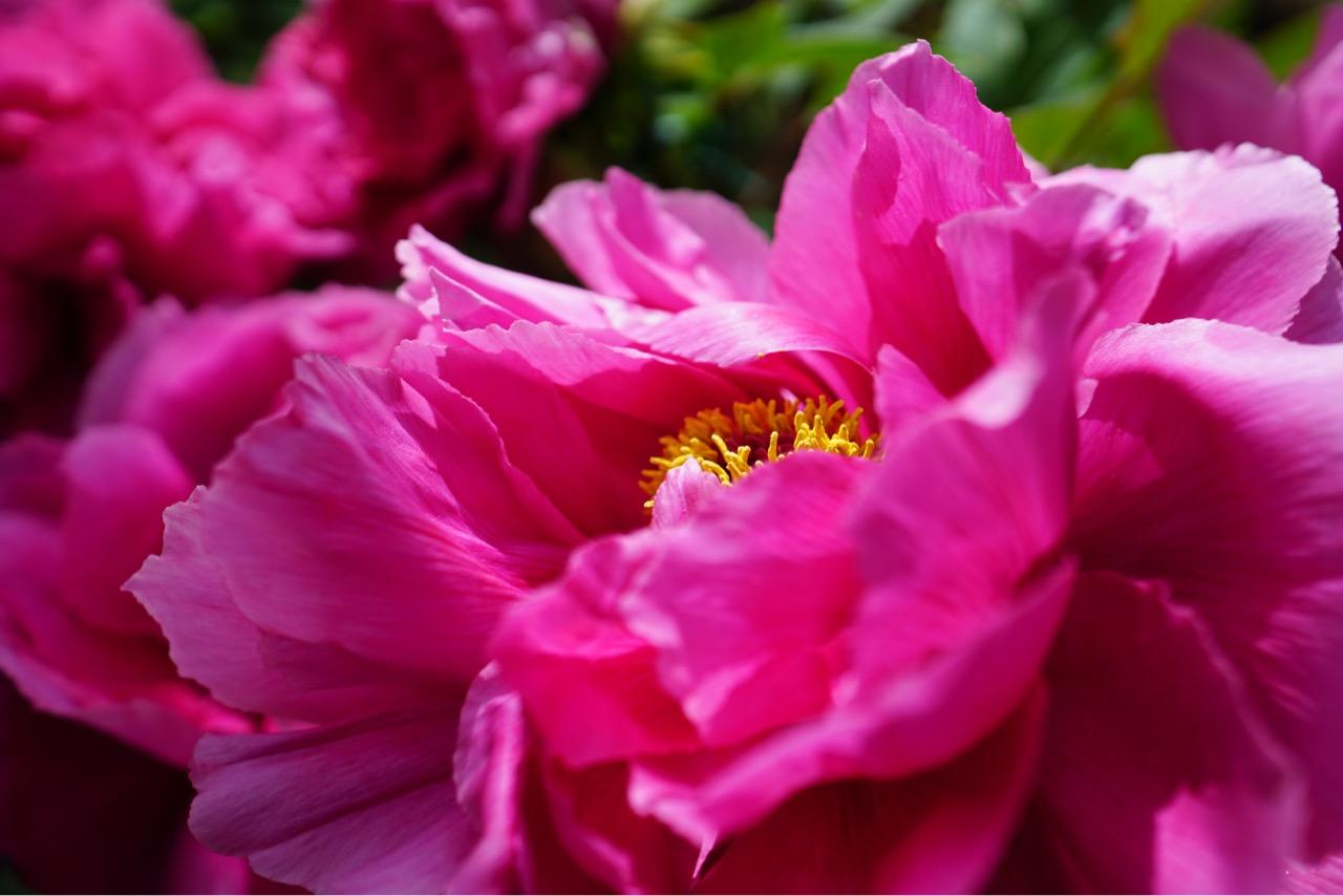 ボタンの花がたくさん咲き乱れてとても綺麗でした。