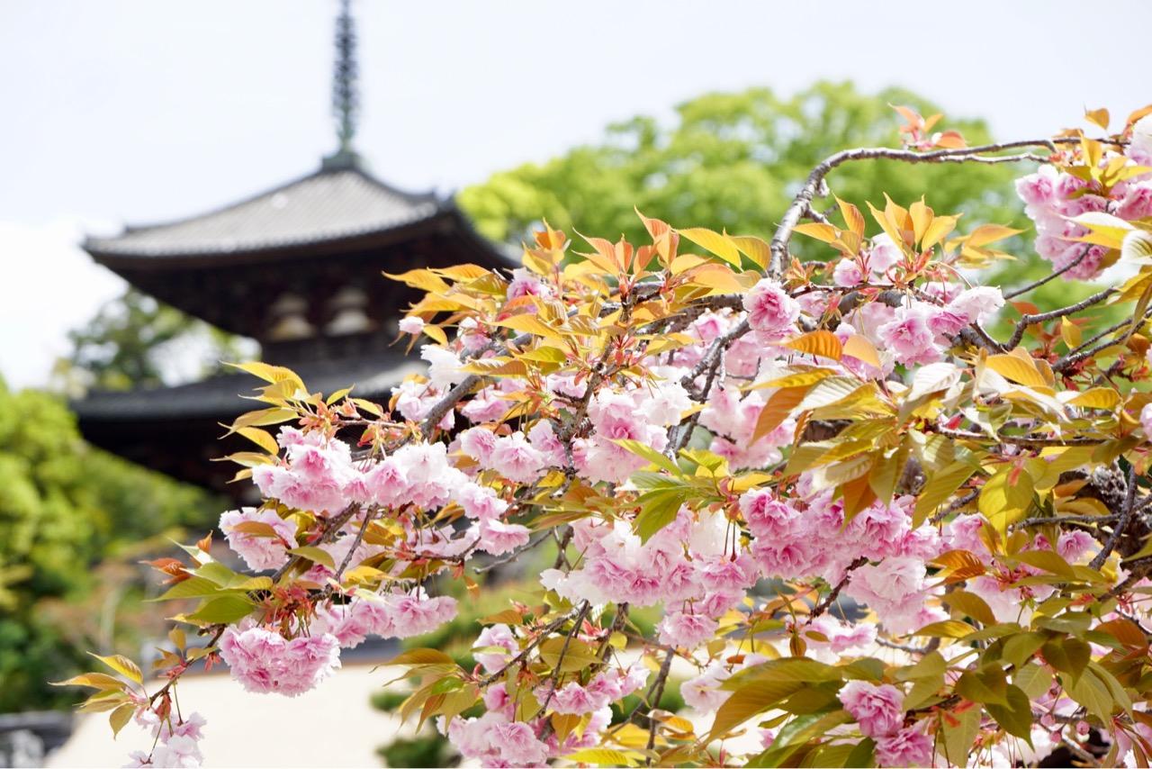 境内にはまだ桜も。