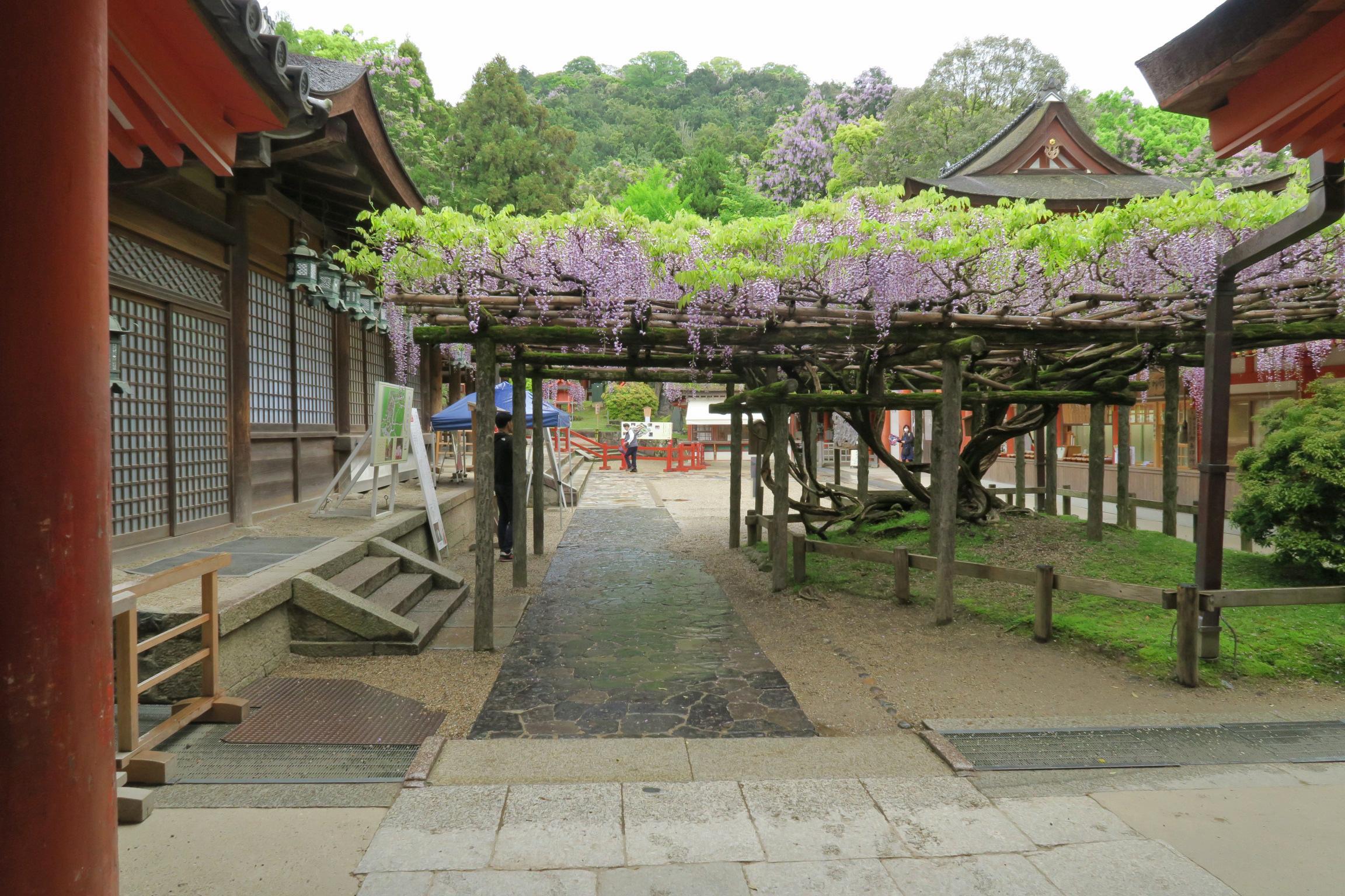 慶賀門から見た見た砂ずりの藤。