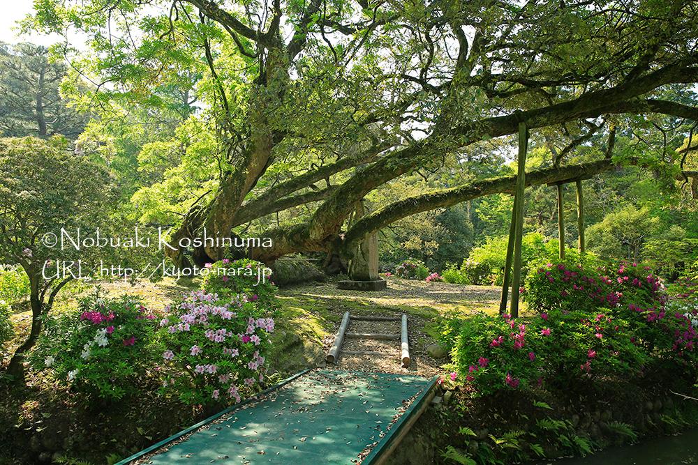 大風で倒れながらも生きる樹の姿から「臥竜のイチイガシ」という名前が付けられました。