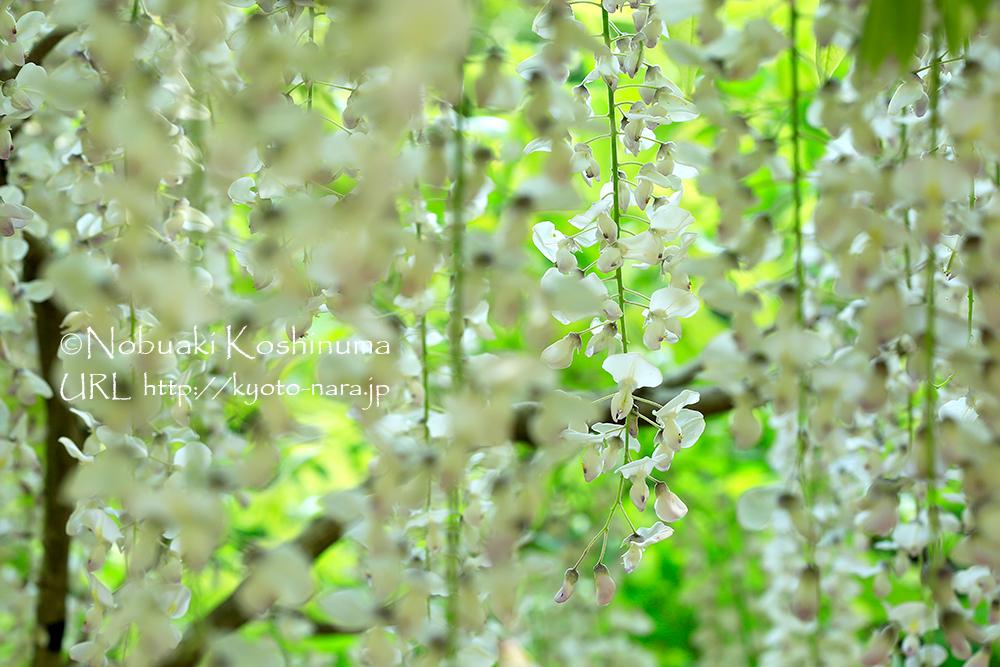 垂れた花からは、やわらかい甘い香りが漂います。