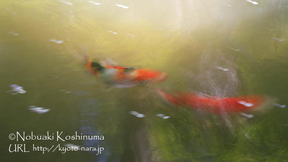 花びらの落ちた池にはコイが泳いでいます。