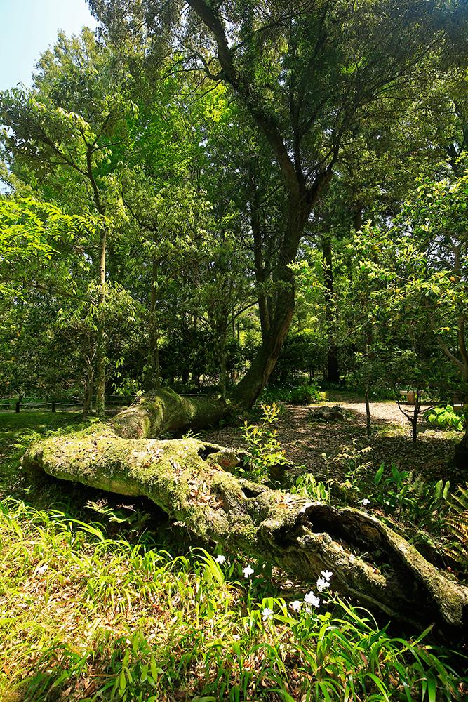 これも大風で倒れ、幹は空洞化したイチイガシ。中央右に見える木は同じ木ですが、立派に生きています。