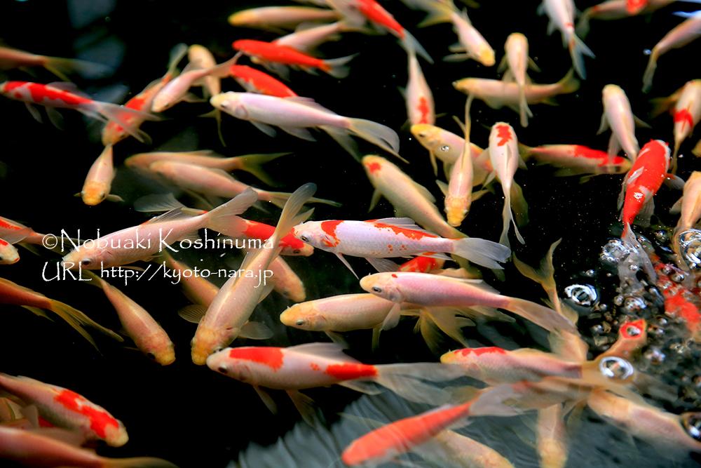 金魚や鯉、熱帯魚、ナマズなどをはじめ、飼育用品なども豊富に取り揃えています。