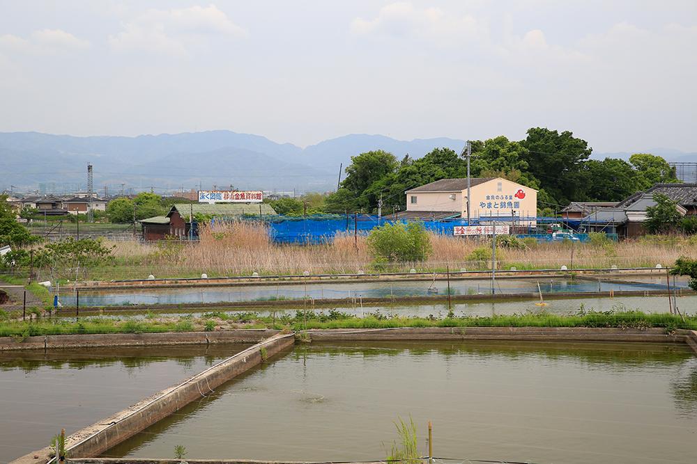 見えてきました。左手看板が「郡山金魚資料館」です。手前は田んぼではなく、養魚場です。