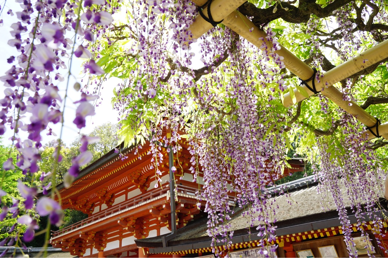 春日大社と万葉植物園の藤を見に行ってきました。