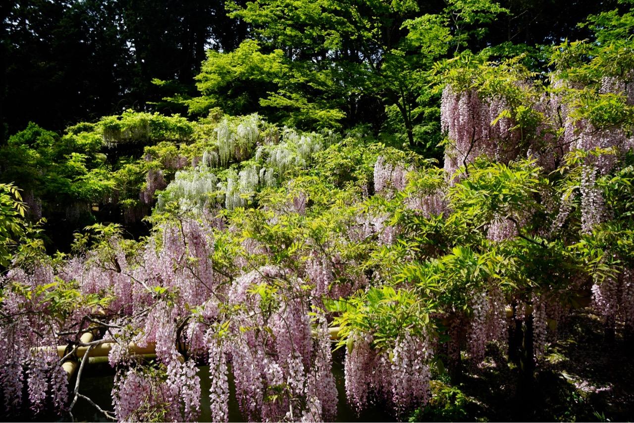 20種類の藤が咲いているそうです。