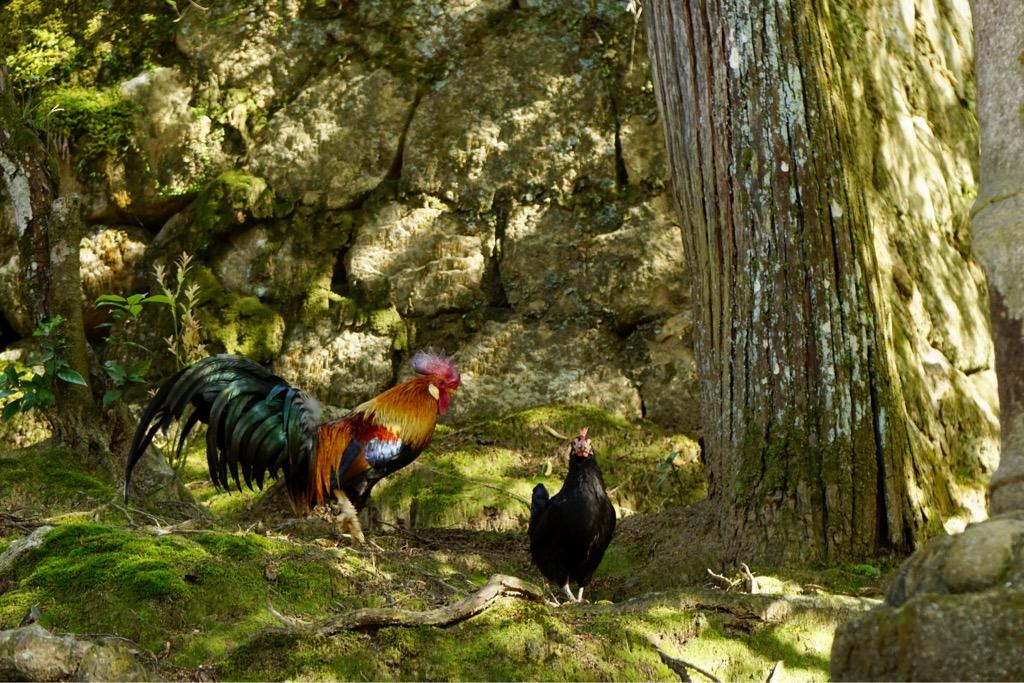 境内には鶏がいっぱいです。