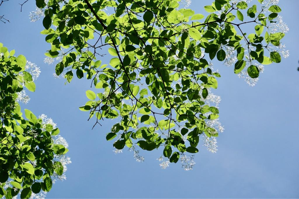 なんじゃもんじゃの花です。大きな木の葉っぱの先に小さい花がいっぱい咲いています。