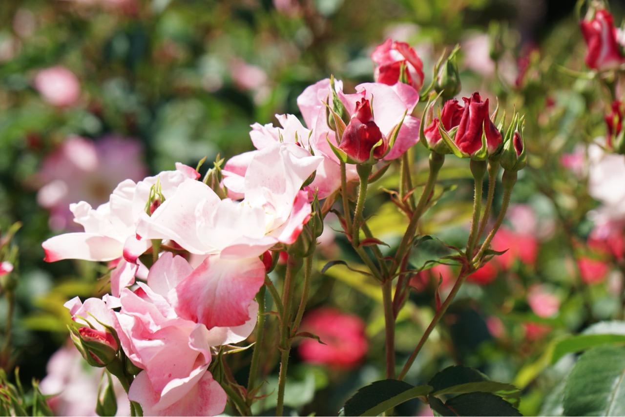 春のバラは大ぶりで花の数も多いので見応えあります。
