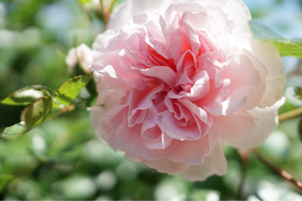 八重咲きは華やかで可愛いですね。