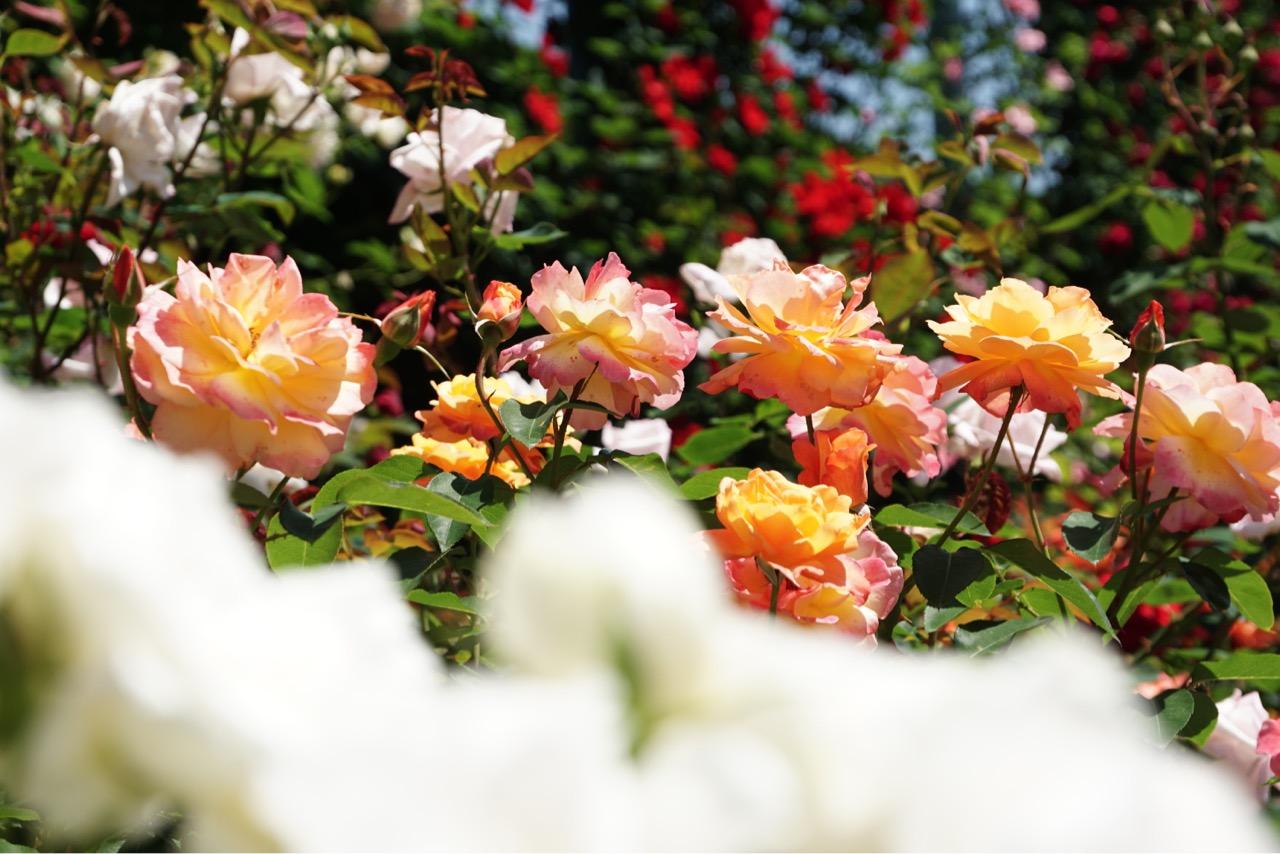 本当にたくさんのバラが咲いていて素晴らしいです。