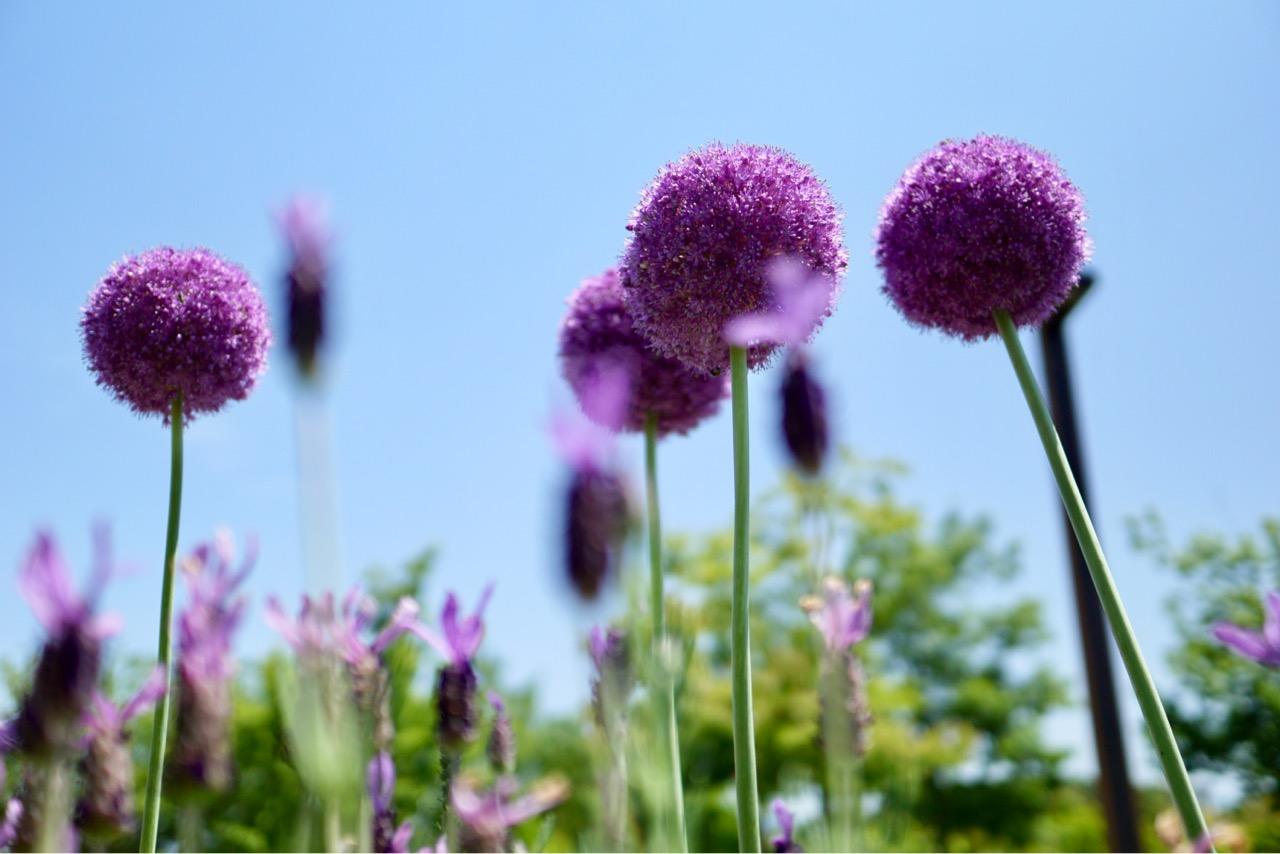 アリウムギガンチウム ニンニクやネギと同じ仲間でユニークで可愛いお花です。