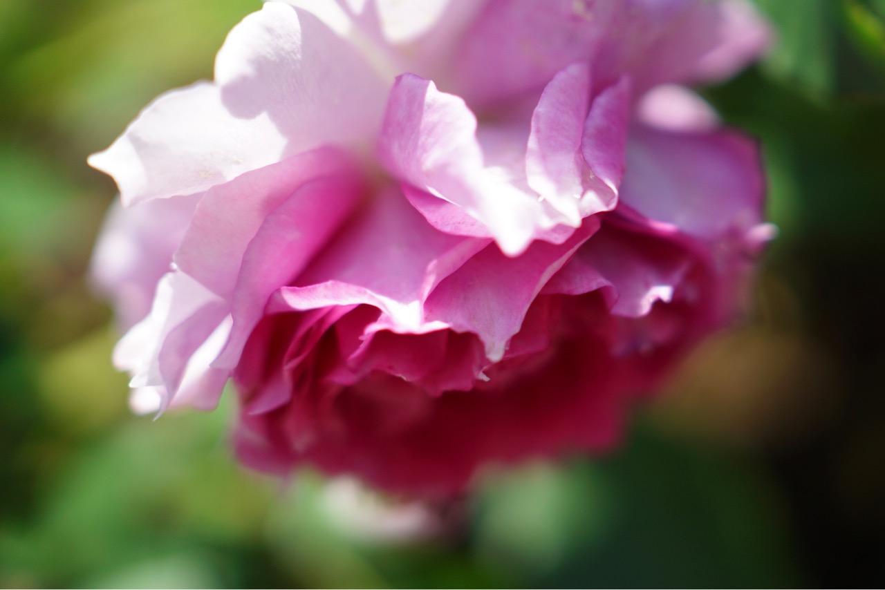 見頃は過ぎていますがまだまだたくさん咲いていて豪華でした。