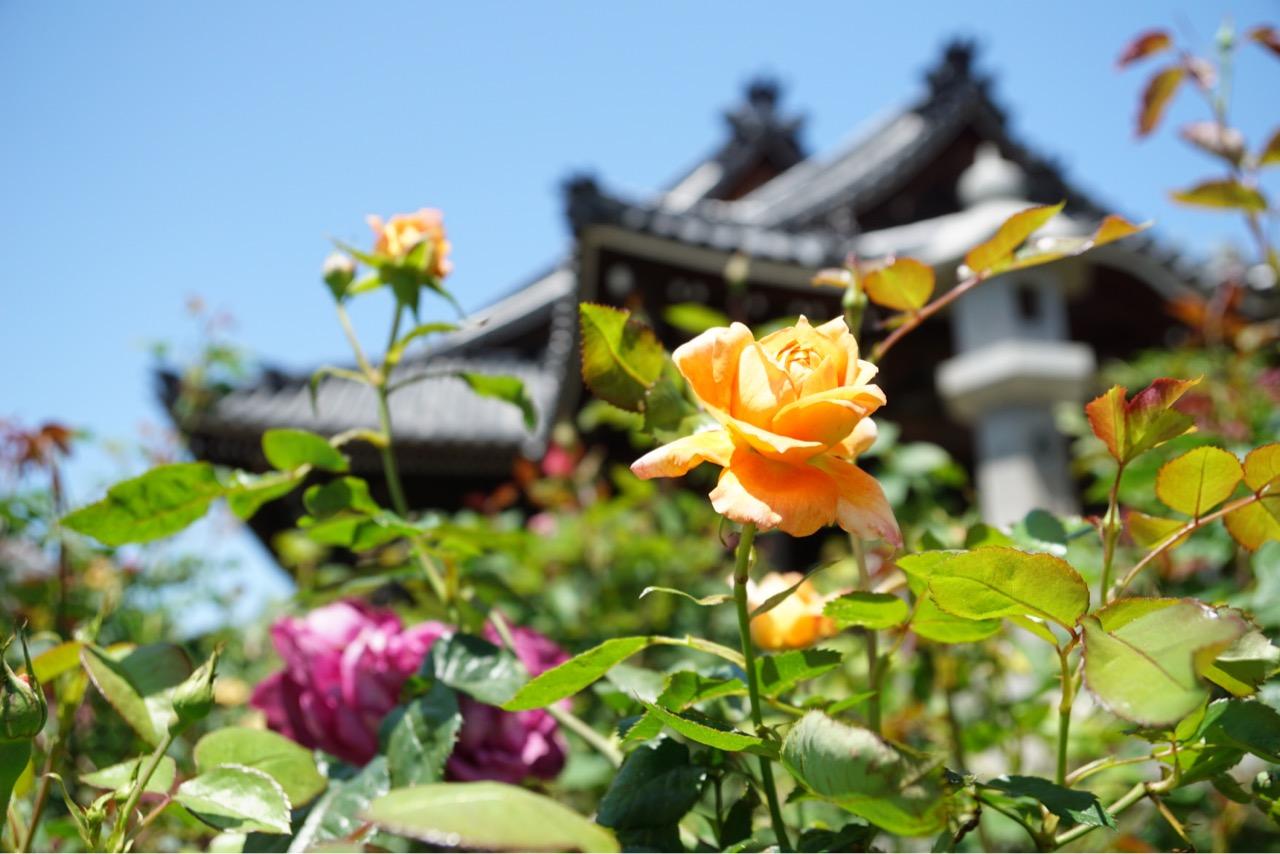 境内にはたくさんのバラが植えられています。