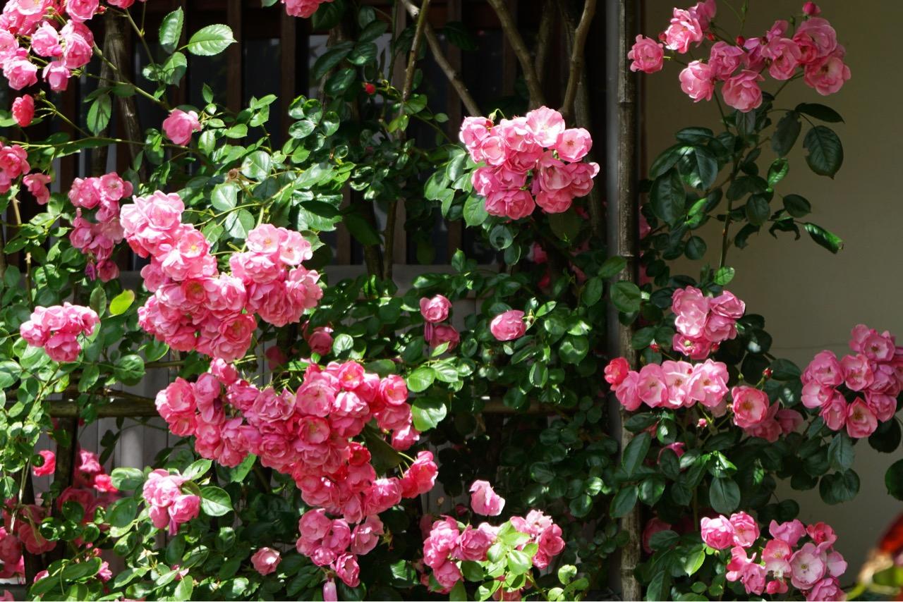 壁側にも可愛いバラがいっぱいです。
