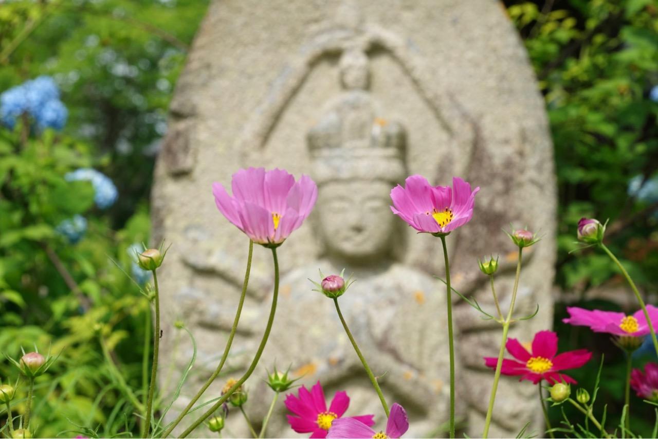石仏の周りにも紫陽花とコスモスがいっぱい。