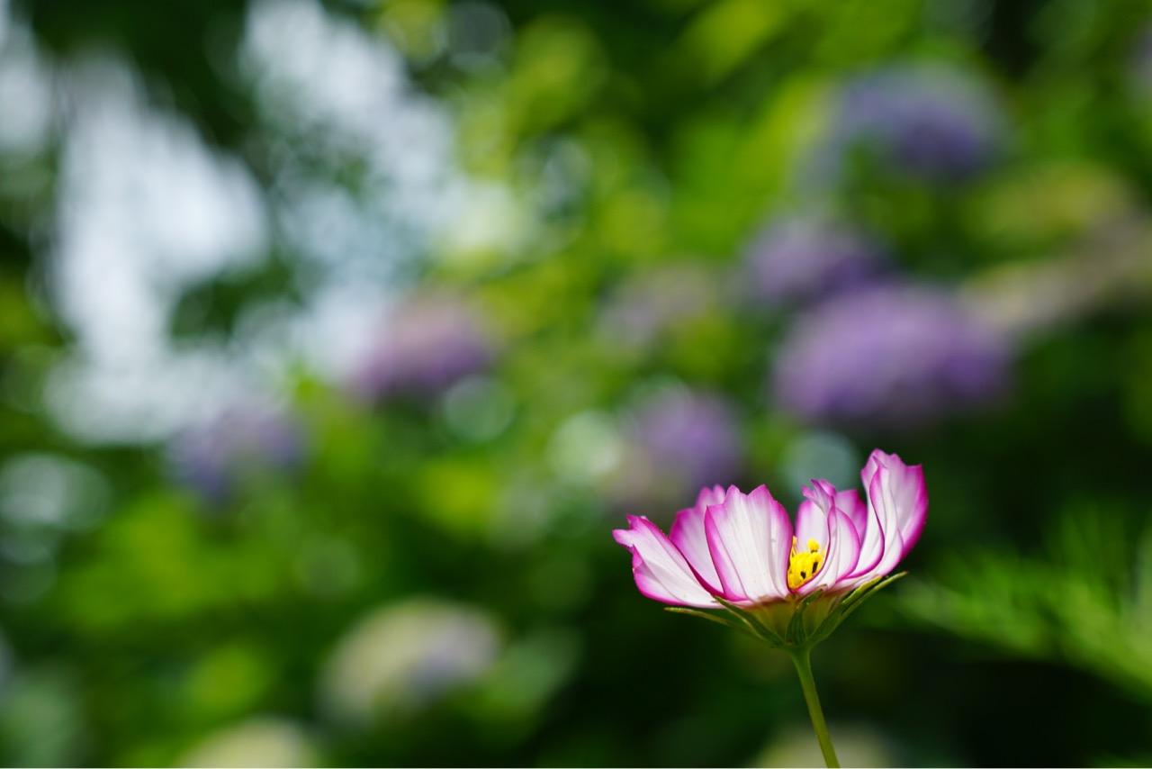 コスモスは秋にも見ることができます。秋の方が花が多いと思います。
