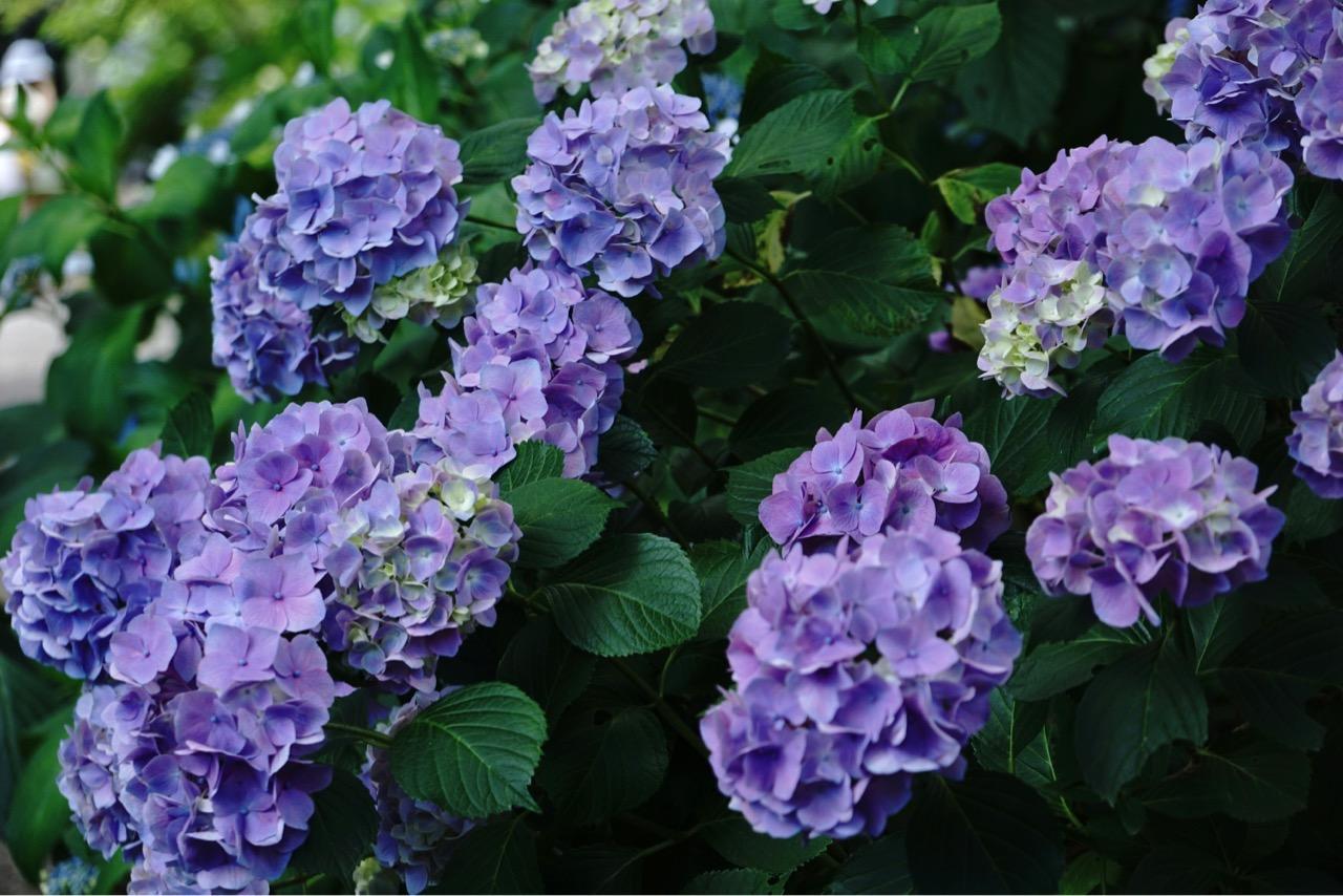 紫陽花という字の通り、紫が一番美しく感じます。