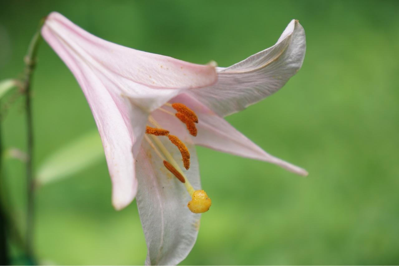 笹ユリ 境内の斜面に咲いています。