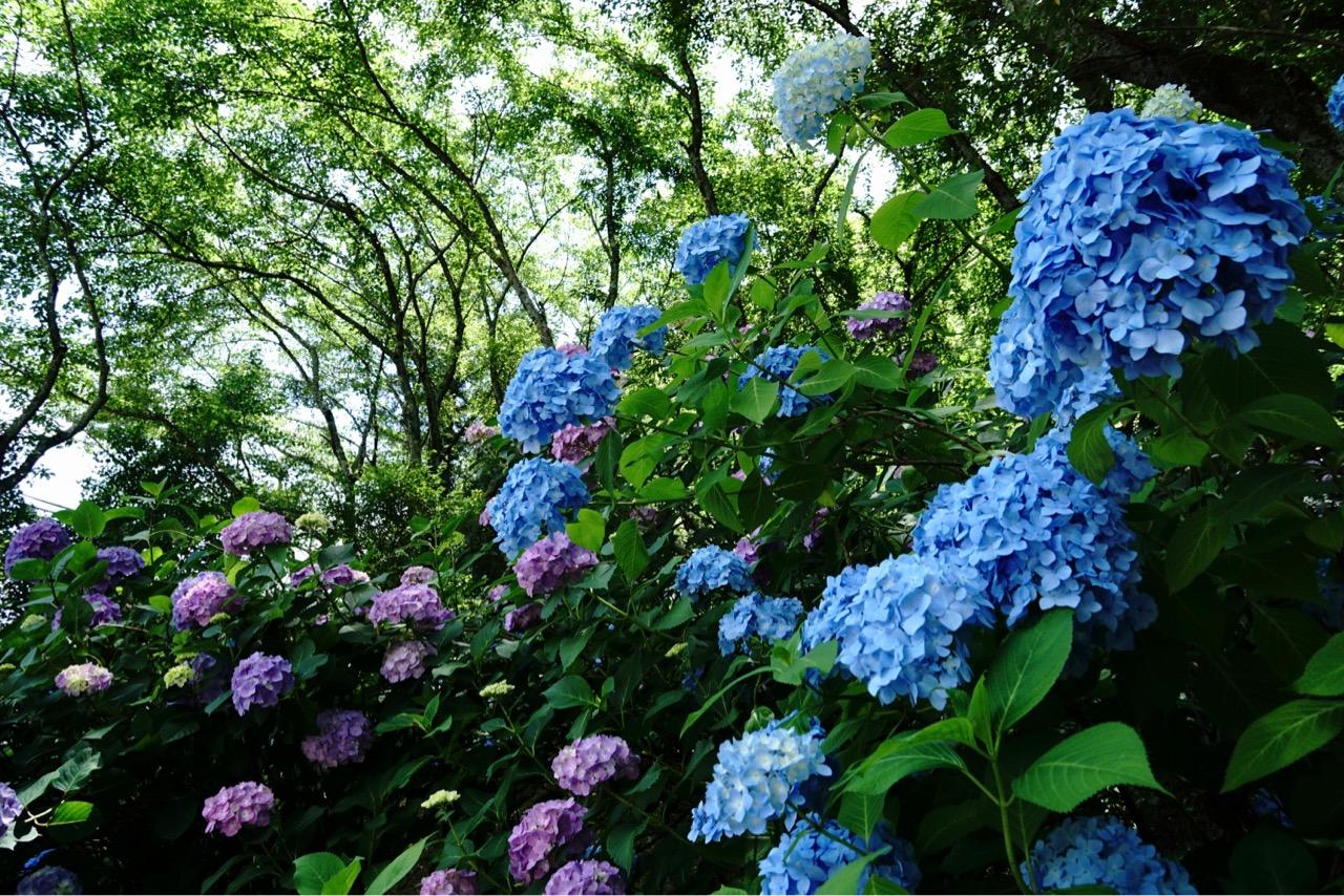 生駒市の長弓寺に行って来ました。紫陽花が素敵でした。
